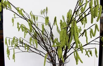 Green Catkins Branch