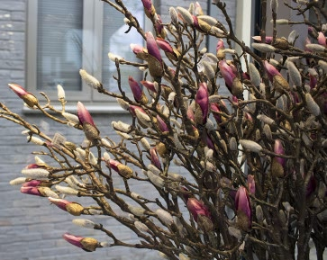 Pink Magnolia Branch