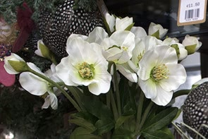Christmas Rose - White